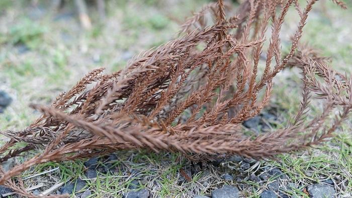 杉の枯れ葉
